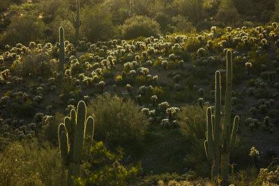 Cactus in backlight, Gold Canyon, Arizona, 2013