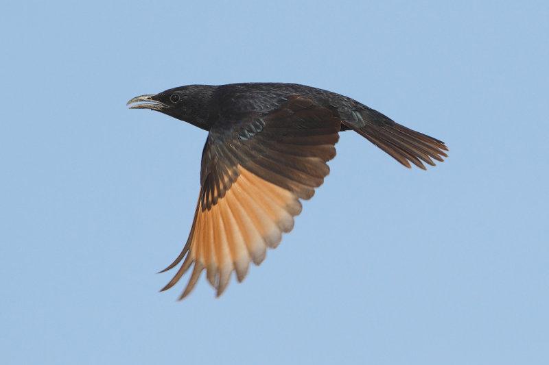 Tristrams Starling (Onychognathus tristramii)