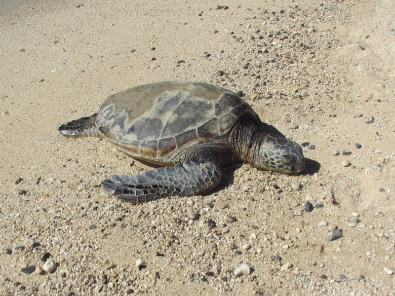 Sea Turtle on Oahu