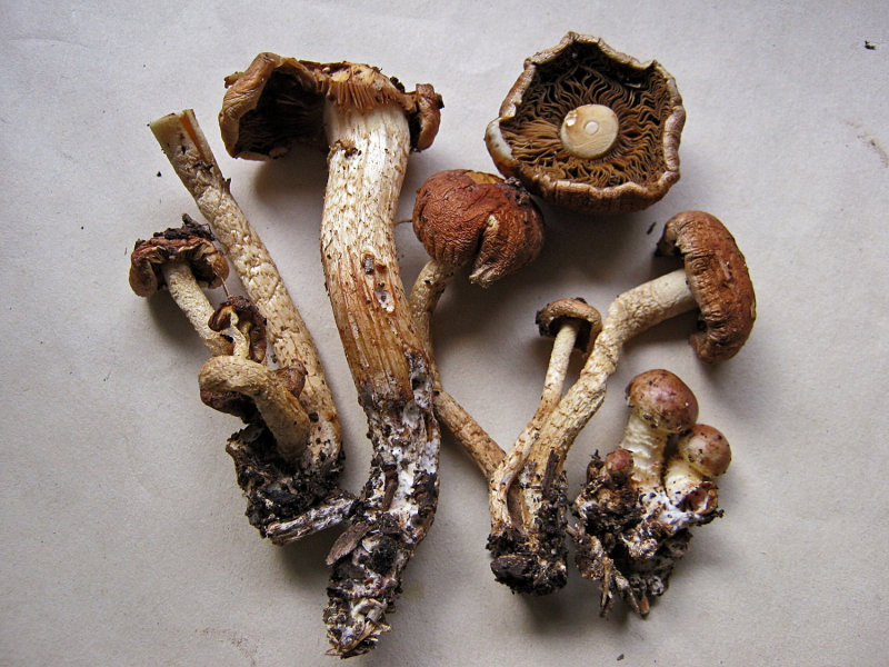 Pholiota lubrica on soil and  woodchips C-in-L Nov-12 HW