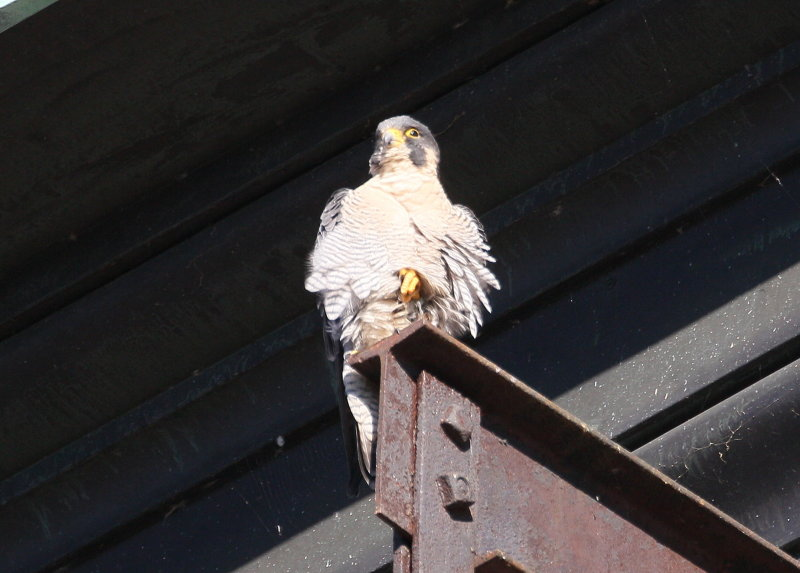 Peregrine adult perched near the roof