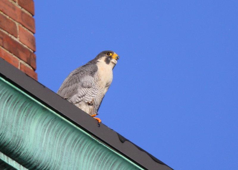 Peregrine Falcon, adult male