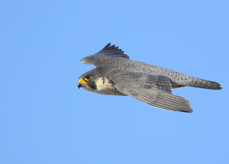 Peregrine Falcon, adult female