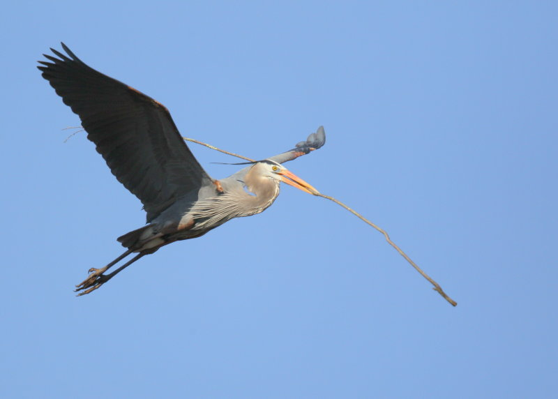 Great Blue Heron returning to nest with stick for mate