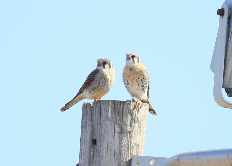 American Kestrel pair perched on utility pole