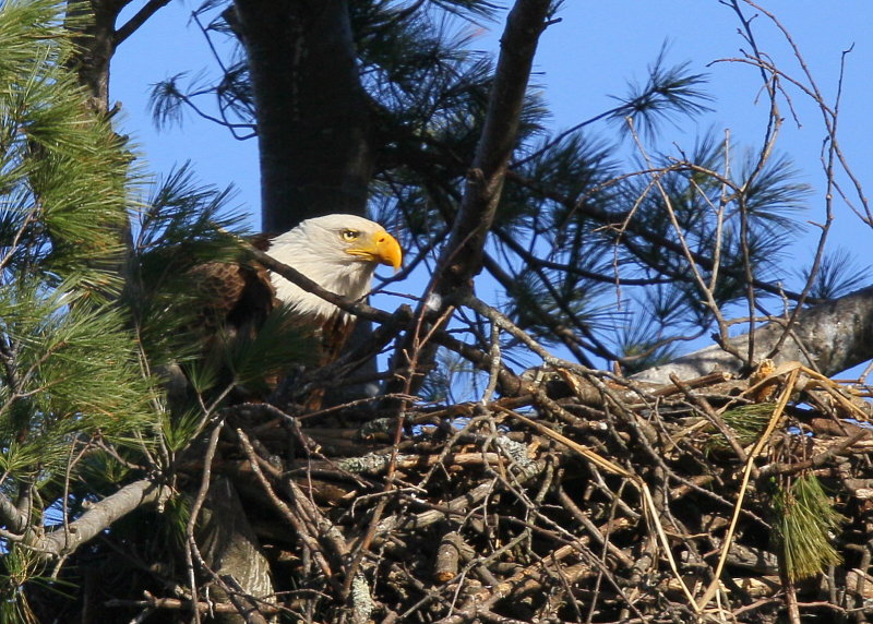 Bald Eagle nest with chick forward of adult!