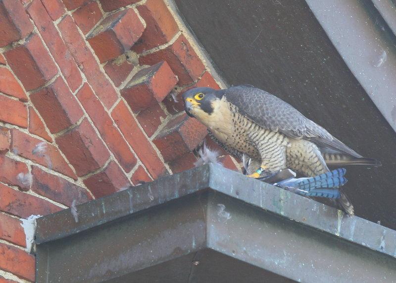 Peregrine Falcon, adult female; V/5 leg band