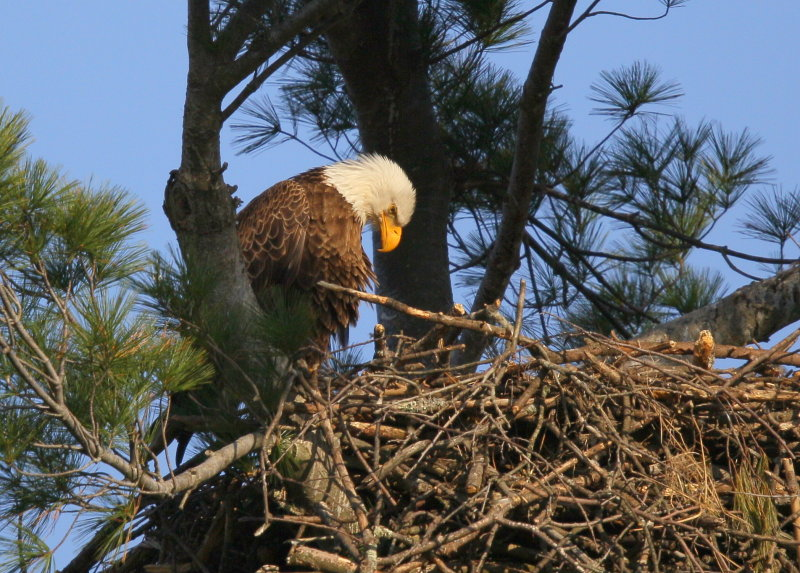 Bald Eagle, adult in nest