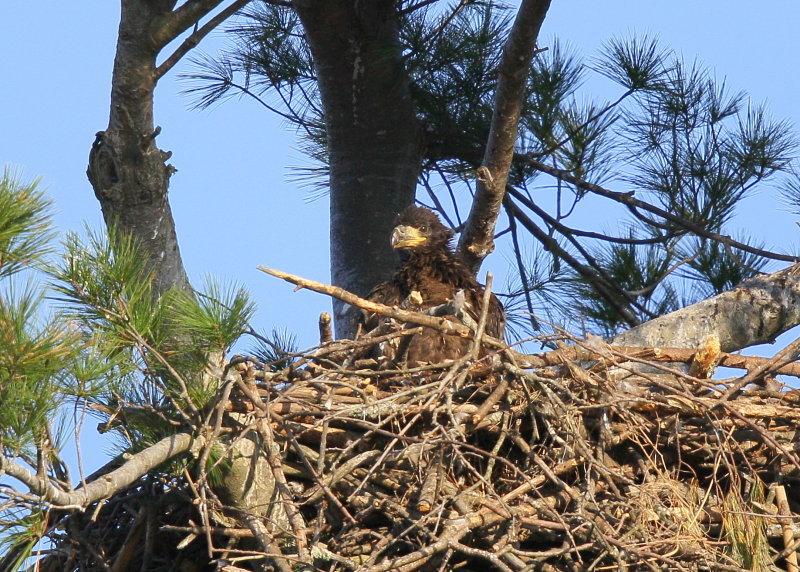 Bald Eagle chick in nest alone