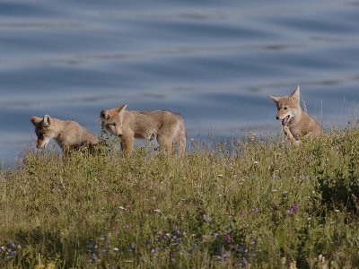 Coyote 90