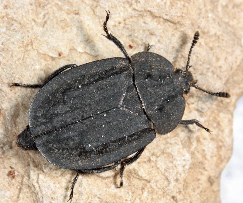 Ridged Carrion Beetle - Oiceoptoma inaequale