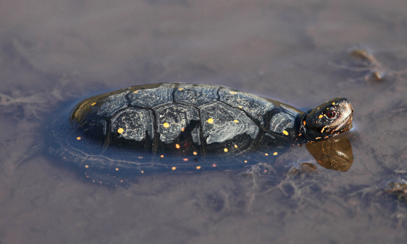 Spotted Turtle - Clemmys guttata