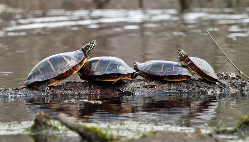 Painted Turtles - Chrysemys picta
