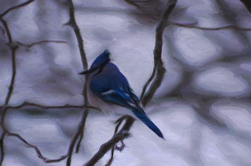 Blue Jay in Winter
