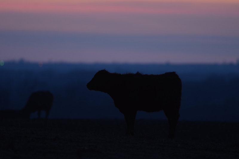 Cattle at Twilight