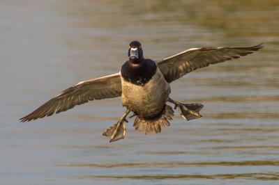 Santee Lakes Ducks