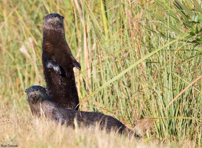 Otters 9