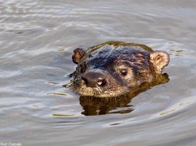 Otter 12