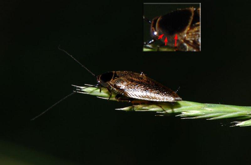 Ectobius-lapponicus.jpg