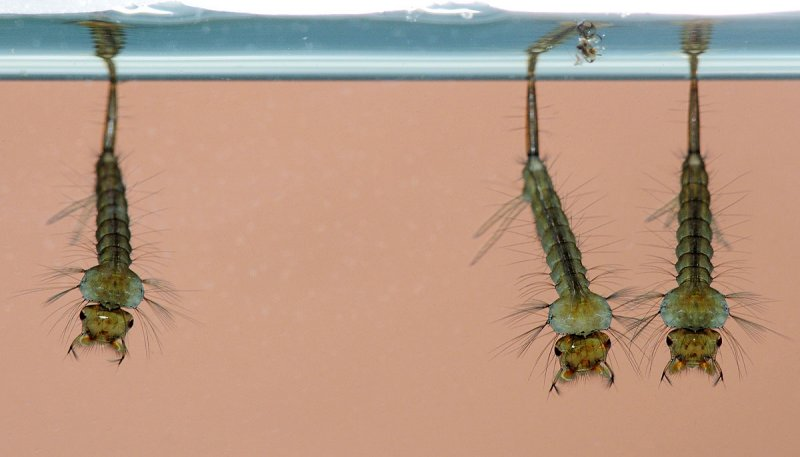 Mosquito-larvae.jpg