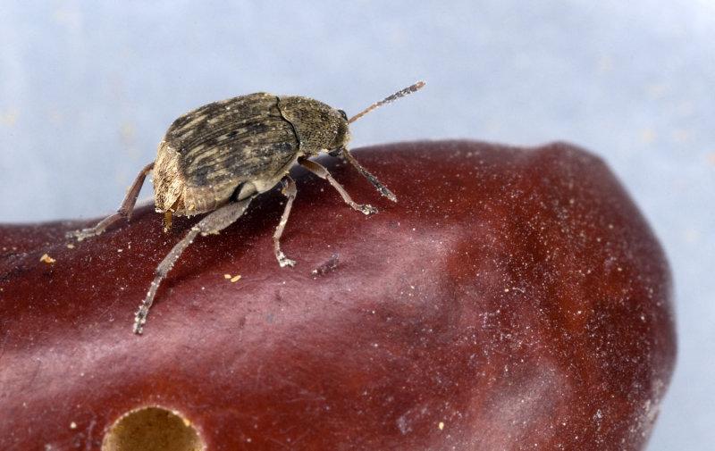 Acanthoscelides-obtectus.jpg