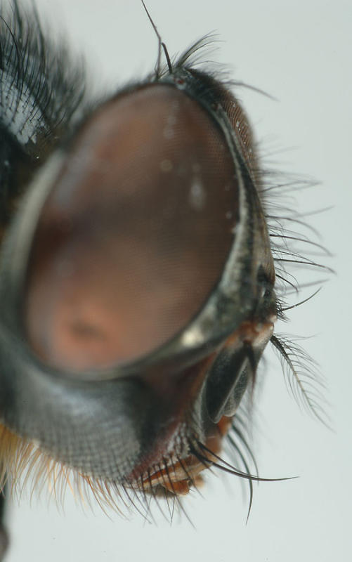 Calliphora-sp-head.jpg