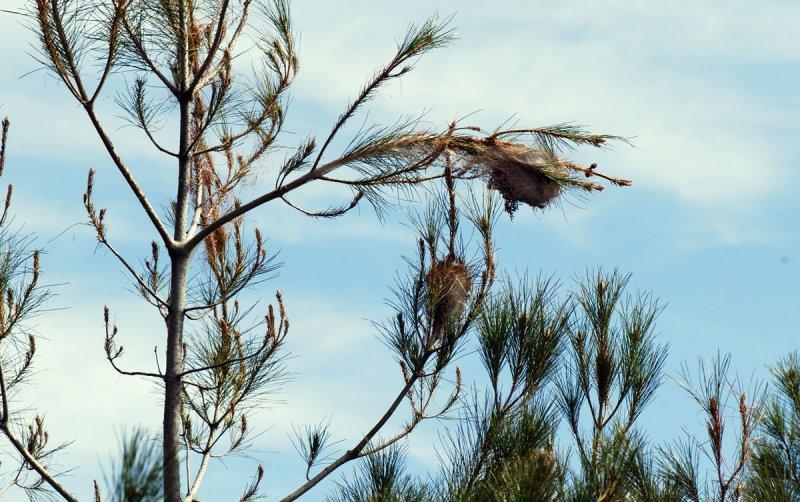 Thaumetopoea-wilkinsoni_nests.jpg