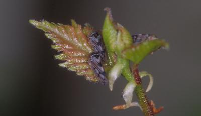 Oncopsis flavicollis.jpg