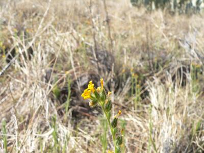 Ranchers Fireweed