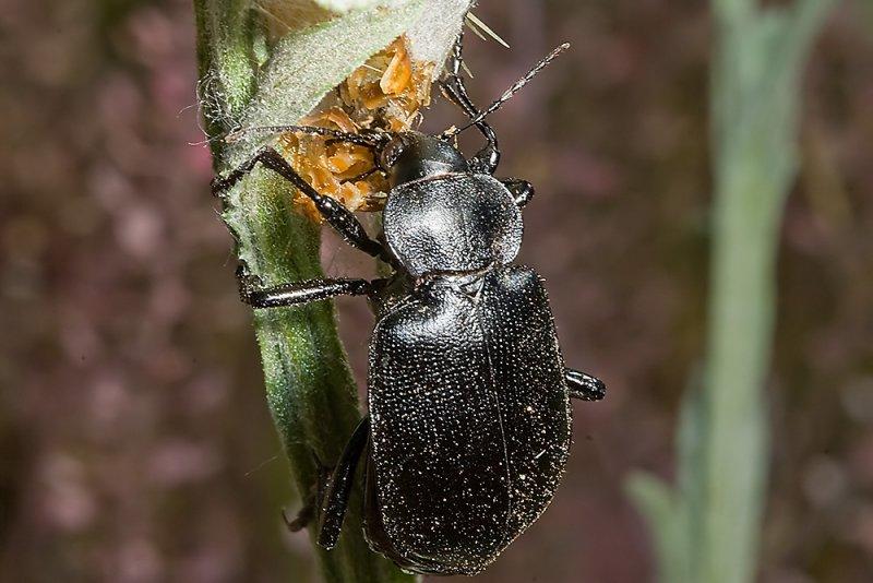Common Black Calosoma Ground Beetle  (<em>Calosoma semilaeve</em>)