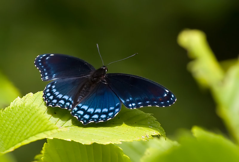 Red-spotted Purple 8050