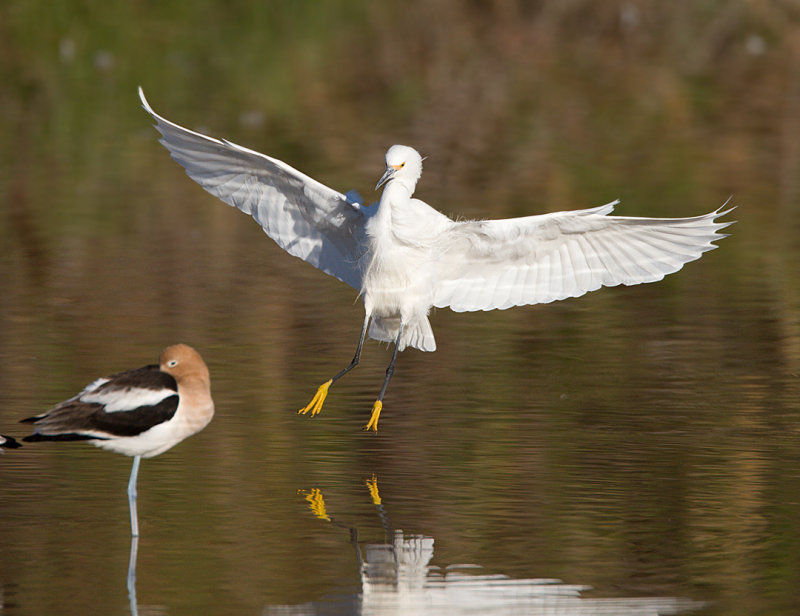 _I3W7580  Snowy Egret