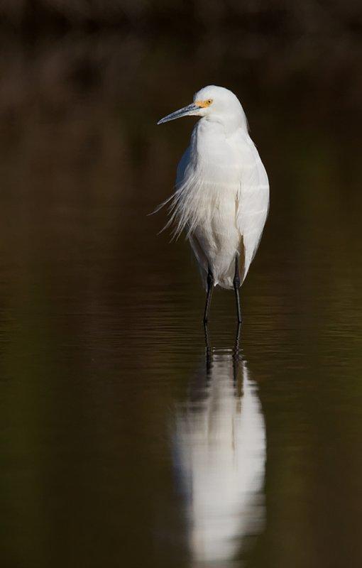 _I3W7603  Great Egret
