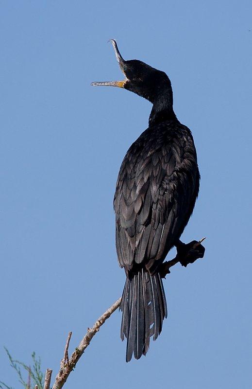 _I3W7741  Neotropic Cormorant