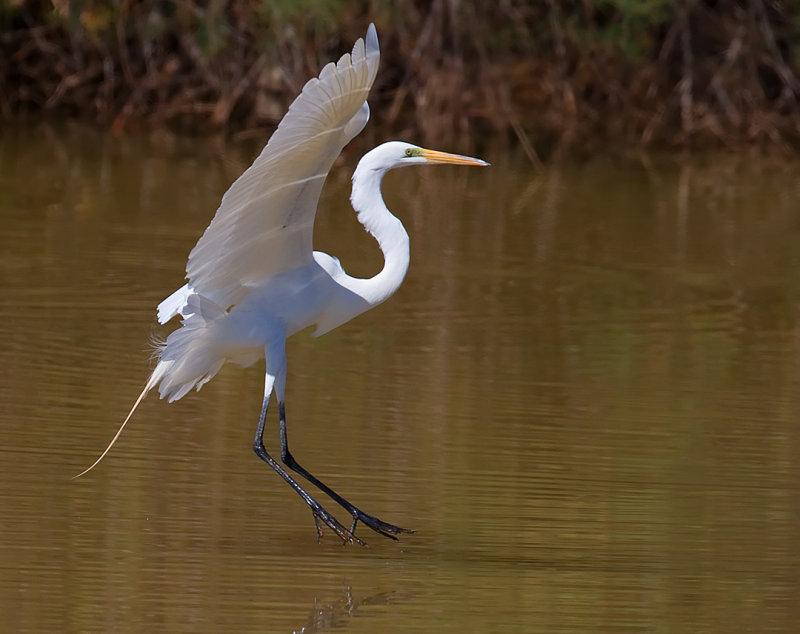 _I3W7922  Great Egret