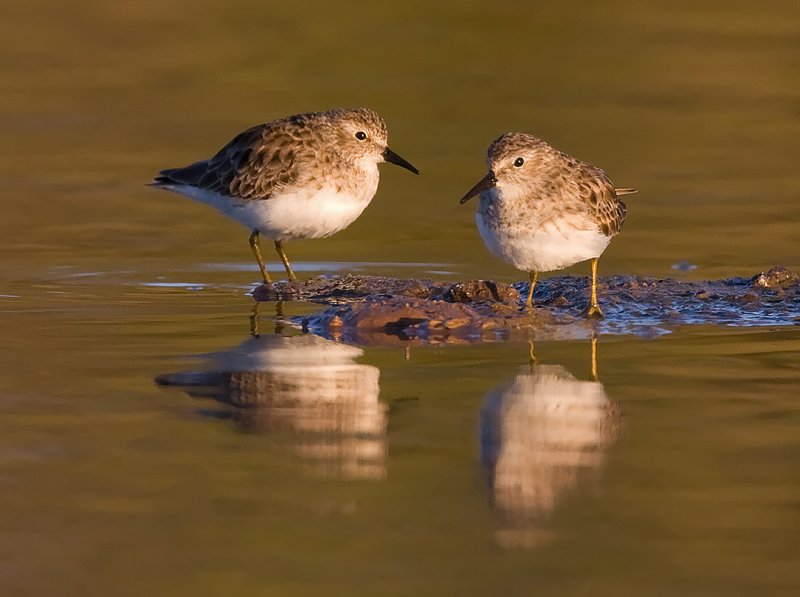 _I3W8058  Least Sandpipers