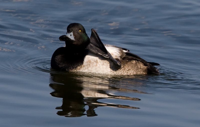 _I3W9689 Greater Scaup