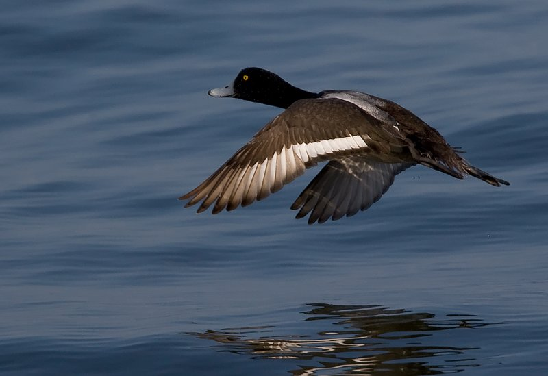 _I3W9789  Greater Scaup flight