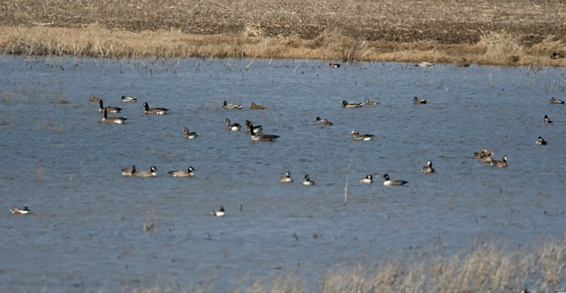 Cackling, Canada and Greater white-fronted Geese
