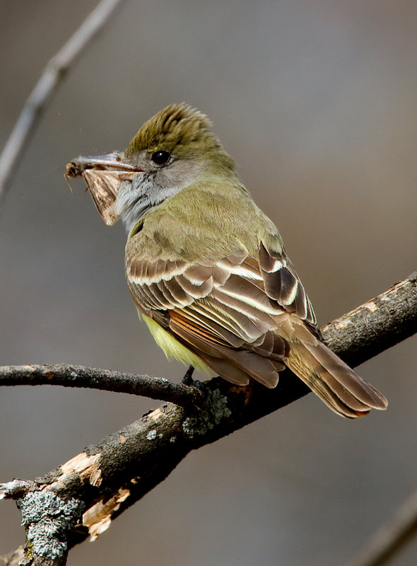 Great-crested Flycatcher 2735