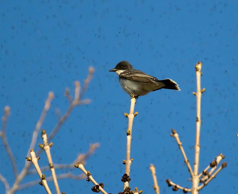 Eastern Kingbird 3243