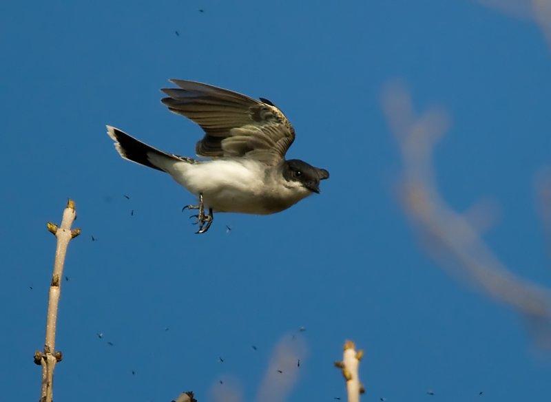 Eastern Kingbird 3248