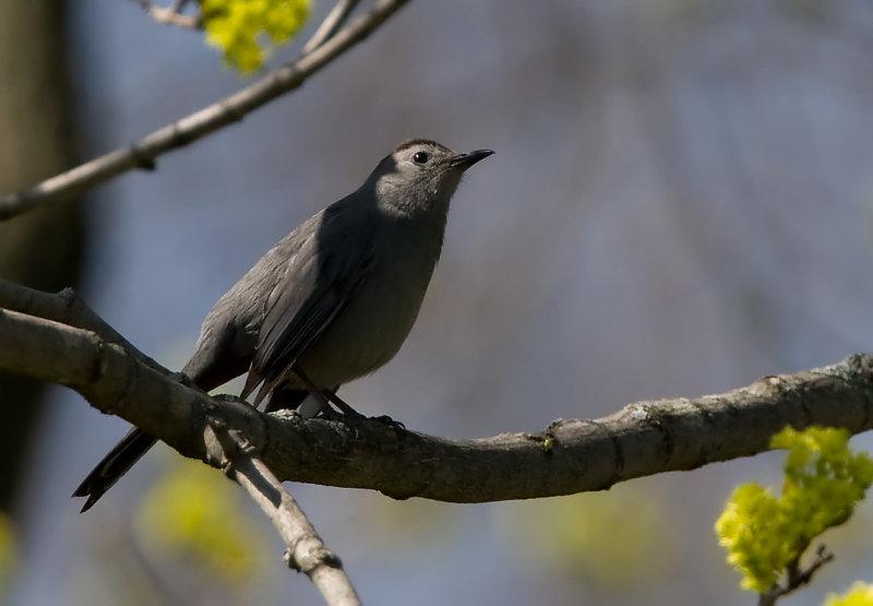 Gray Catbird 3548