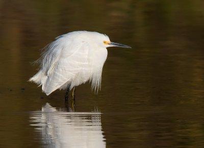 _I3W7584  Snowy Egret
