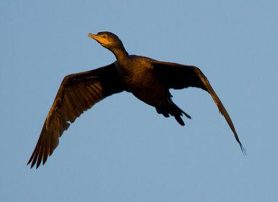 _I3W7978  Neotropic Cormorant