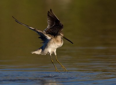 _I3W8167  Long-billed Dowitcher