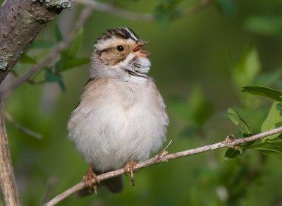 Clay-colored Sparrow 3967.jpg