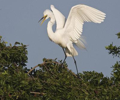 Great Egret landed