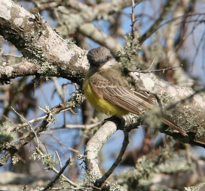 Tropical Kingbird 04.jpg