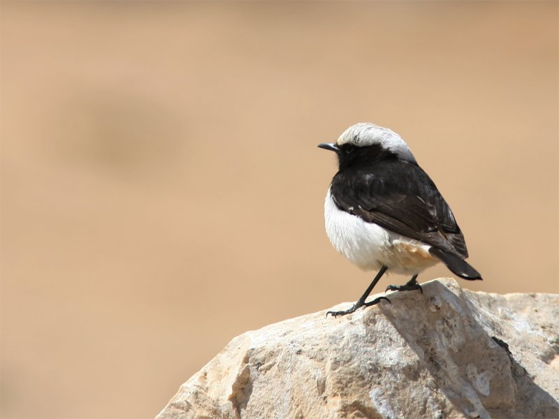 Eastern Crowned Wheatear - Rouwtapuit
